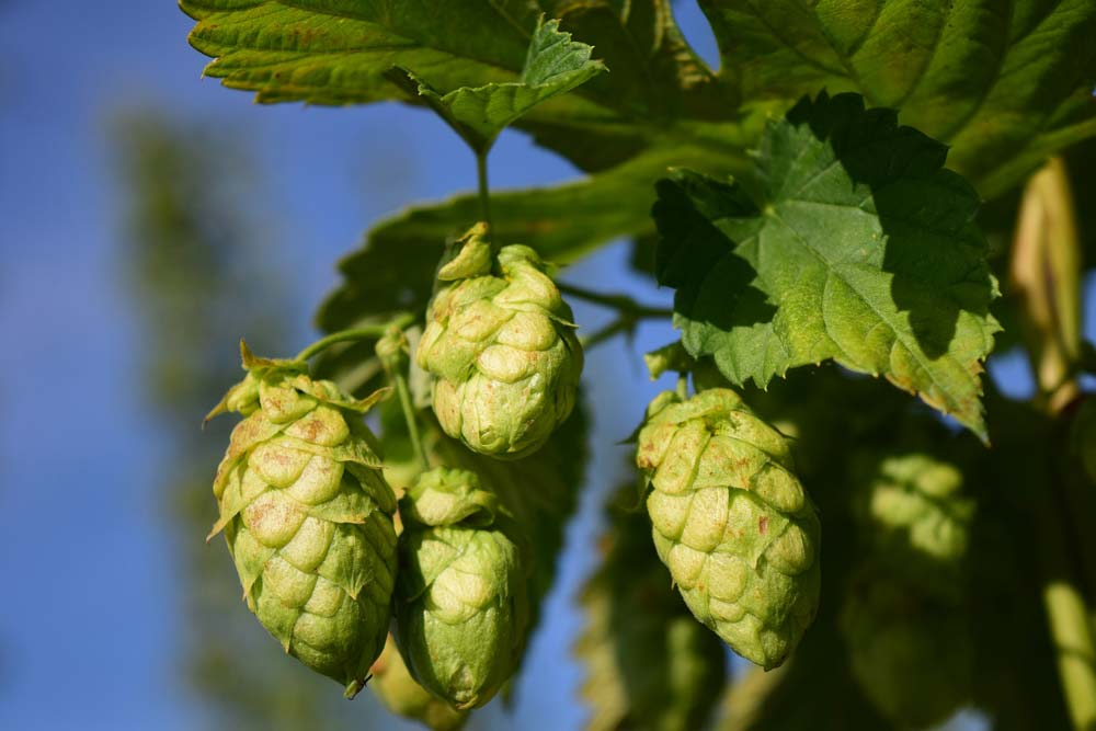 Hops. Image: Pixabay, in the public domain