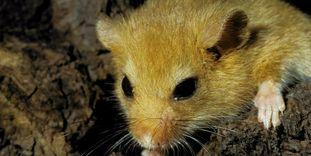 Porträt einer Maus