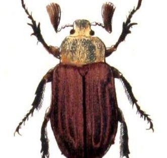 Melolontha Hippocastani